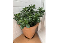 Jade Money Plant Lucky plant in pot