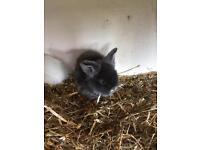 Lion head rabbits forsale