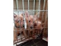Jack Russell cross pups