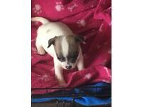 Chihuahua puppies 2 boys available