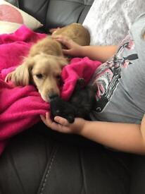 Cockapoo puppies for sale ready 8th October