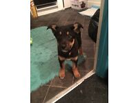 chollie cross puppy