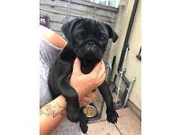 Black male pug puppy KC Registered