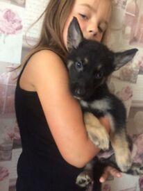 German shepherd x malamute puppies for sale