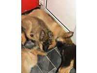 German shepherd puppies 5 months old