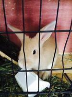 8 week old bunny for sale- $20