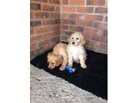 Cockapoo puppys for sale