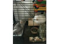 2 chinchillas and cage