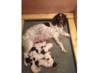 English Springer Spaniel Pups, KC registered, 5 weeks old
