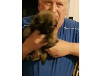 Caucasian x German Shepherd puppies for sale