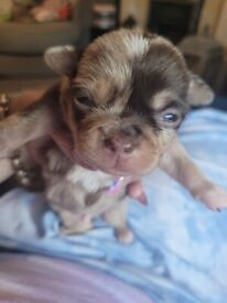 Merle Puppies for sale chihuahua x pekignese