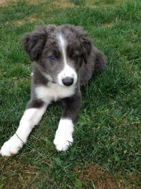 Blue/white border collie male puppy.