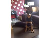 im having to rehome 13 month old german shepard cross rotti