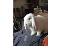 pure bred Giant white french lop male