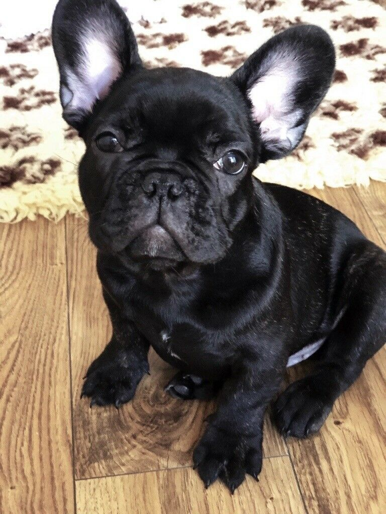 New Beautiful 3 Month Old Black Brindle French Bulldog For Sale