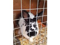 I have a 8 month old male rabbit black and white .
