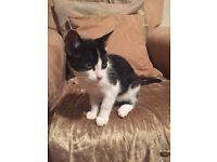 12 week male Kitten looking for loving home
