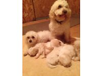 5 beautiful maltipoo puppys 4 girls and 1 boy