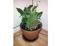 Peace Lily - (Spathiphyllum) Extra Large pot. Pot size 16 inches length 13.5 inches height