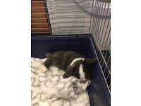 Female Mini Lop Rabbit