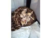 Chiuhuhua puppies for sale