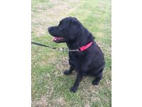 Beautiful 3 yr old black Labrador dog looking for a loving home. Fully KC reg. Great with children.