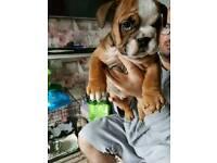 Kc reg bulldogs puppies