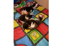Kittens for sale hand reared