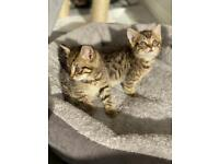 Reserved all kittens 4 x Bengal mix tabby kittens for sale