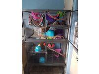 Giant Cage for rat/degu/etc same style as dcn / liberta explorer / ferrett nation