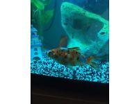 Healthy Gold Fish