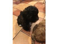 Lhasa poo puppies