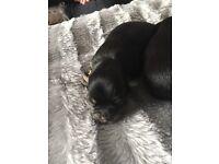 Pomerian X chuhuhia Pups