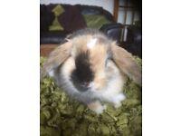 Pure mini lop rabbits