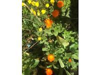 Calendula plants - £1 (bh10 Wallisdown)