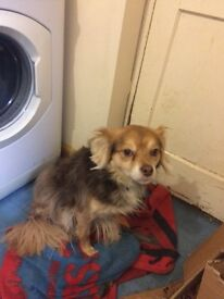 Jack Russell cross chihuahua 3years old