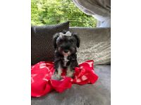 Miniature schnauzer pup ready for there forever homes