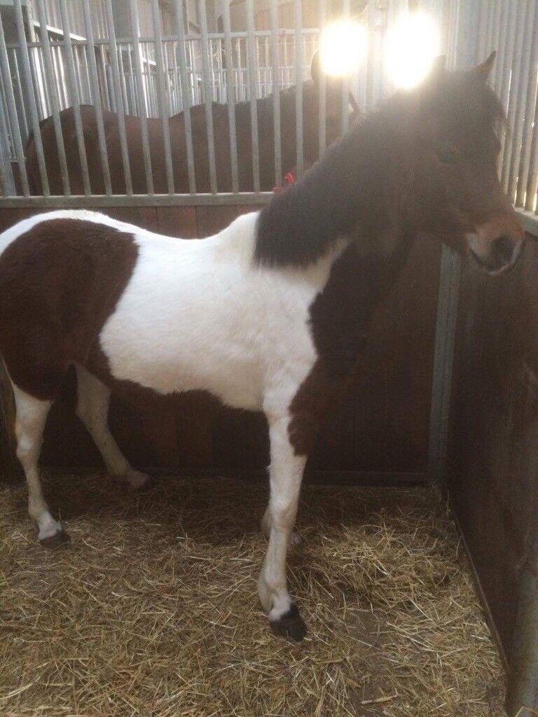 Welsh Cross Lead Rein Pony In Felixstowe Suffolk Gumtree