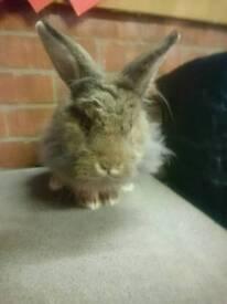 Gorgeous Lion Lop Buck Rabbit