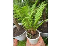 Fern plant hardy outdoor plant