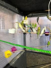 Lovely budgies all different colours choose your own