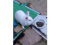 Pure white lion head rabbit