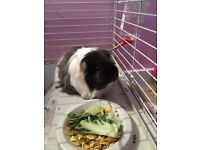 2 female guinea pigs for sale
