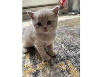 British Shorthair female kittens