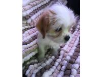 Adorable Jack Russell X Shihtzu Puppies