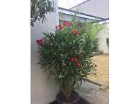 Nerium oliander
