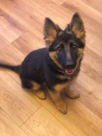 German Shepard Puppy 3 months old.