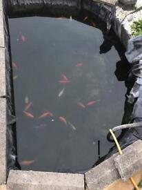 Koi Cold Water Fish £150 for 2