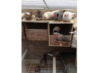 3 new unused cage, Beautiful Best Quality zebra Finches