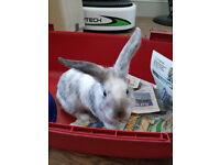 Handsome baby boy rabbit for sale (Snowy, mini lop cross, ten weeks old)